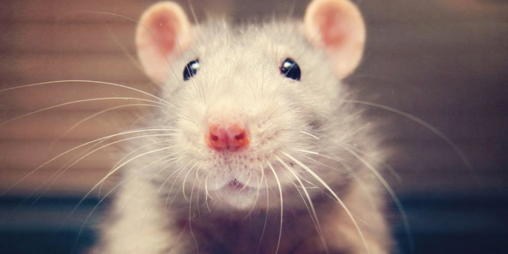 The secret to a rat's sense of touch? It's all in how the whiskers bend